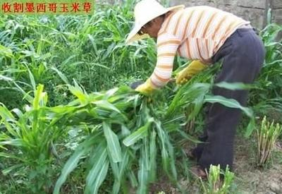 这是一张关于墨西哥玉米草的产品图片