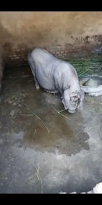 山东省菏泽市曹县太湖母猪作种 200-300斤