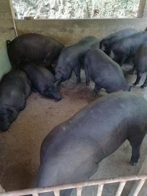 广西壮族自治区玉林市博白县黑猪 200-300斤