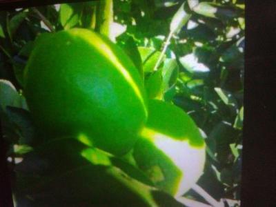 这是一张关于青柠檬 1 - 1.5两的产品图片