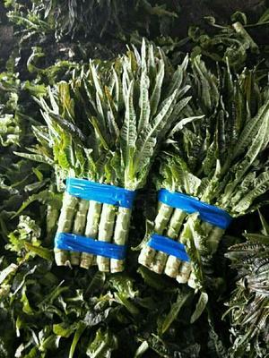 山东省临沂市郯城县青皮尖叶莴苣 50-60cm 1.5~2.0斤