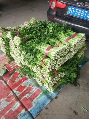 河北省邯郸市永年县皇妃芹菜 60cm以上 露天种植 1.0~1.5斤
