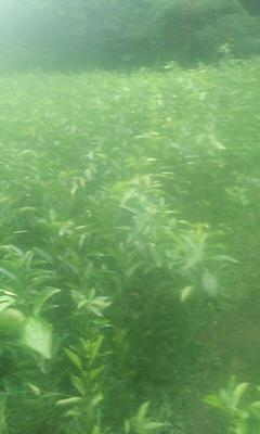 四川省成都市简阳市柑树苗 0.5米以下