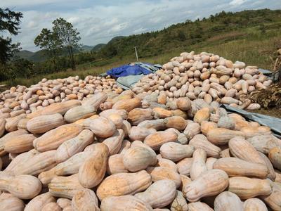 这是一张关于蜜本南瓜 6~10斤 长条形 的产品图片