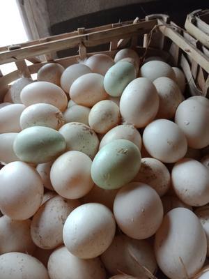 江西省宜春市丰城市麻鸭蛋 孵化 散装