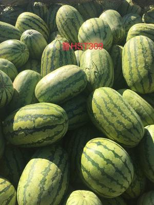 内蒙古自治区巴彦淖尔市临河区金城5号西瓜 有籽 1茬 9成熟 8斤打底