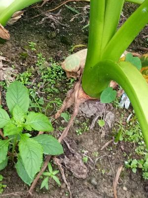 广西壮族自治区桂林市全州县槟榔芋 6cm以上