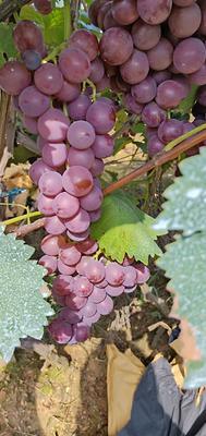 这是一张关于巨峰葡萄 5%以下 1次果 0.6-0.8斤的产品图片