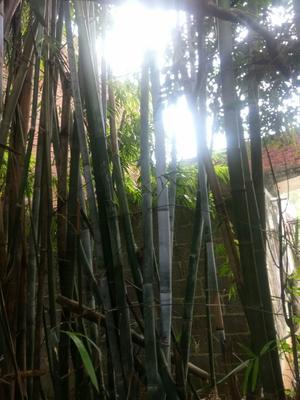 这是一张关于楠竹的产品图片