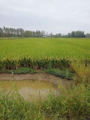 这是一张关于稻虾连作有机大米 绿色食品 晚稻 一等品的产品图片