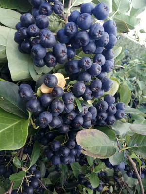 这是一张关于黑果花楸的产品图片