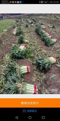 这是一张关于莴笋种子的产品图片
