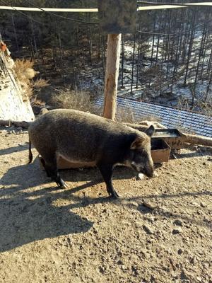 辽宁省本溪市本溪满族自治县特种野猪 100斤以上 统货