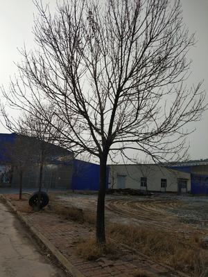 山东省滨州市沾化区老式白蜡 5米以上