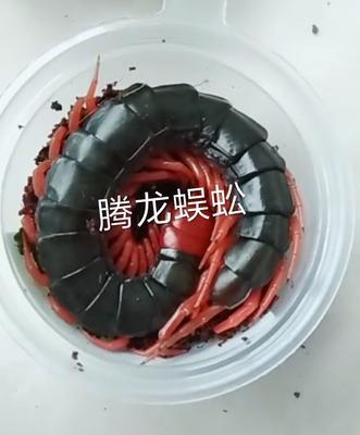 湖北省襄阳市谷城县红头蜈蚣