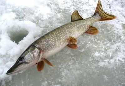 内蒙古自治区呼伦贝尔市满洲里市野生鲫鱼 野生 0.5-2.5公斤