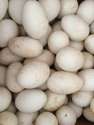 广东省汕头市龙湖区狮头鹅蛋 食用 箱装