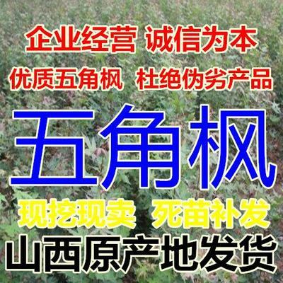 山西省运城市绛县五角枫