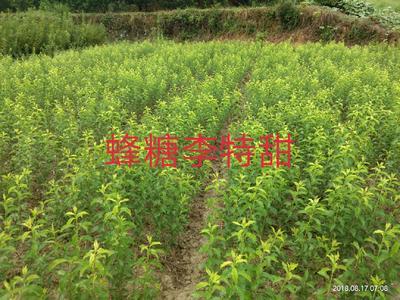 湖南省怀化市麻阳苗族自治县蜂糖李苗