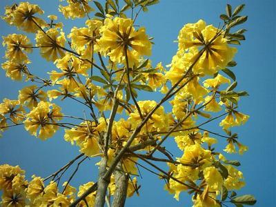 广西壮族自治区柳州市融安县多花黄花风铃木