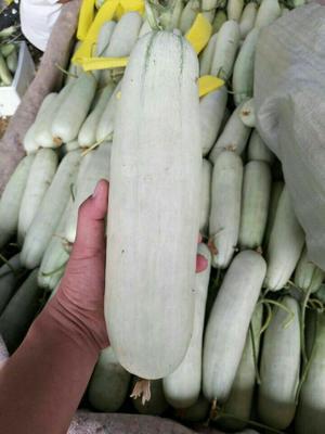 山东省聊城市莘县博洋61甜瓜 0.5斤以上