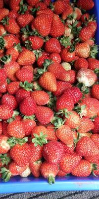 云南省昆明市盘龙区圣安德瑞斯草莓 40克以上