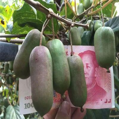 软枣猕猴桃苗  嫁接苗 当年见果  红心绿心品种齐全