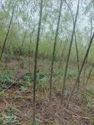 陕西省渭南市大荔县垂柳