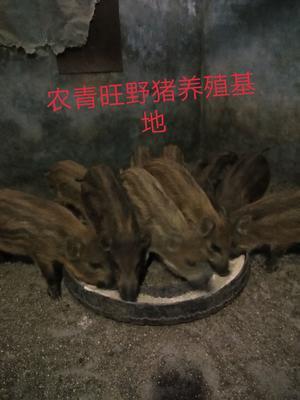 山西省晋中市和顺县特种野猪 20-30斤 统货