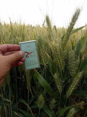 山东省济宁市金乡县小麦种子