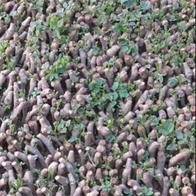 广西壮族自治区桂林市全州县葛种种苗