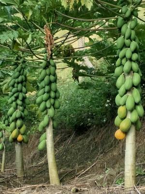云南省红河哈尼族彝族自治州屏边苗族自治县青木瓜 1.5 - 2斤