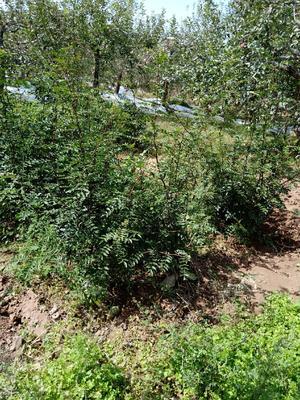 陕西省铜川市印台区花椒种子