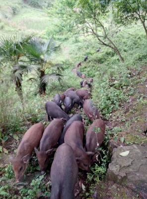 重庆大足区特种野猪 20-30斤 统货