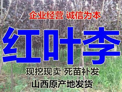 山西省运城市绛县红叶李
