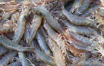 广西壮族自治区钦州市钦南区南美白对虾 人工殖养 3-5钱