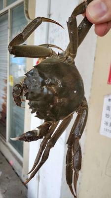 江苏省泰州市兴化市兴化螃蟹 3.0-3.5两 统货