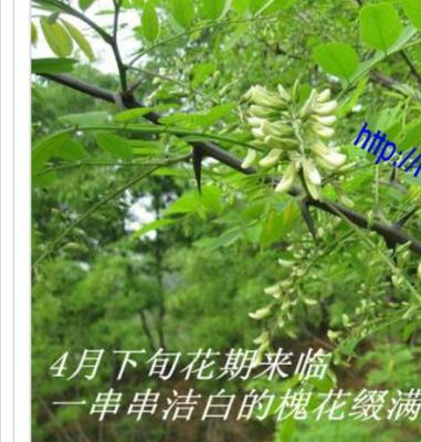江苏省徐州市铜山区槐花