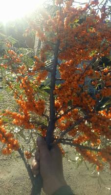山西省忻州市繁峙县沙棘果 橙黄色