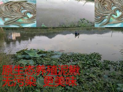 江西省赣州市定南县台湾泥鳅 50-60尾/公斤 10-15cm 人工养殖
