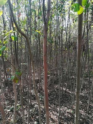 河南省南阳市宛城区大叶白蜡树 3~3.5米