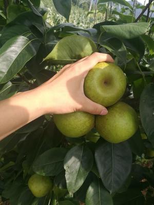 翠冠梨苗 0.5~1米