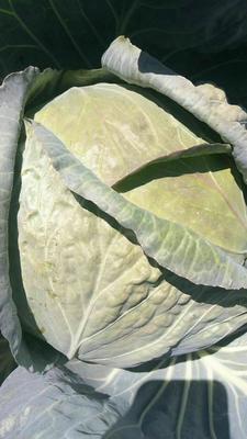 陕西省汉中市汉台区铁头圆包菜 4~5斤