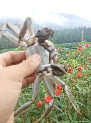 安徽省黄山市屯溪区安徽螃蟹 2.5-3.0两 统货