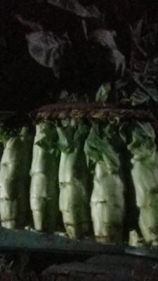 山东省枣庄市薛城区红叶莴笋 40-50cm 1.0~1.5斤
