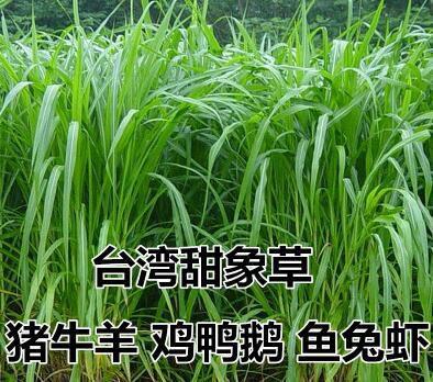甜象草种子