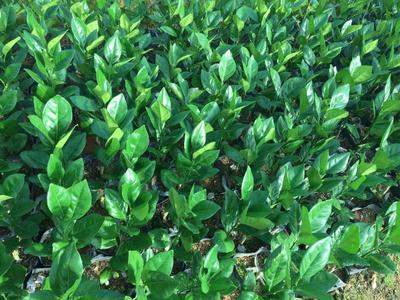 赣南早脐橙苗 嫁接苗 0.5~1米