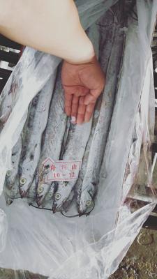 甘肃省嘉峪关市嘉峪关市舟山带鱼 野生 0.5公斤以下