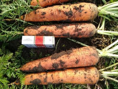 山东省青岛市市北区三红胡萝卜 15cm以上 2两以上 3~4cm