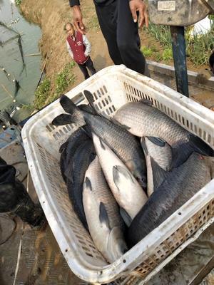 河南省郑州市金水区淡水青鱼 人工养殖 1.5-6公斤